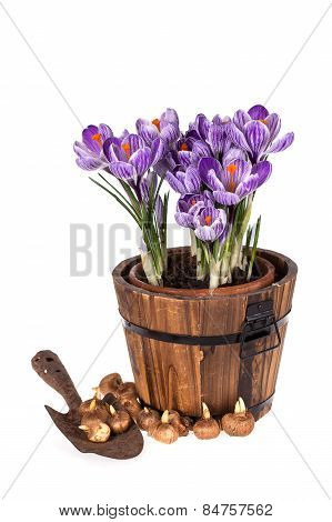 Crocuses In Pot, Old Trowel And Bulbs