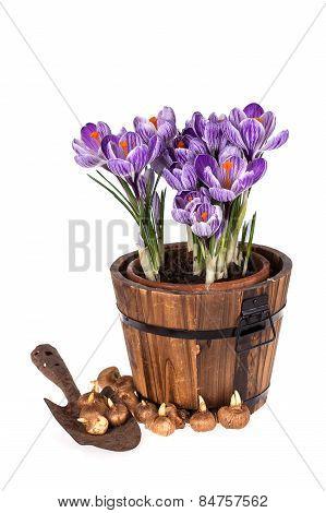 Crocuses In Pot, Old Trowel And Bulbs