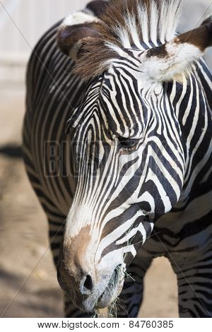 A close-up of a zebra head with eyes and mane