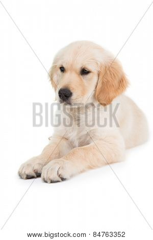 Lying dog looking ahead on white background