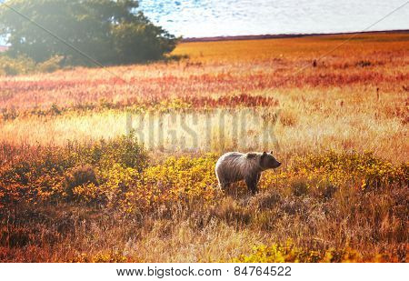 Grizzly bear in autumn season