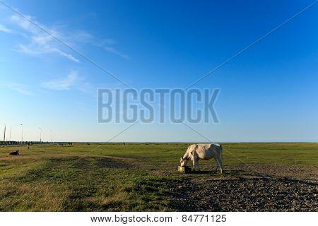 Scenic View Cows Near Wadden Sea Noordpolderzijl