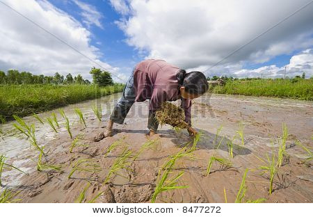 Female Rice Farmer In Thailand