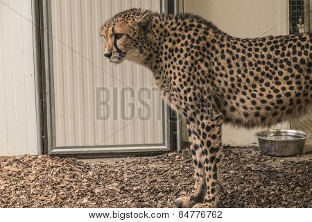 Cheetah in the zoo