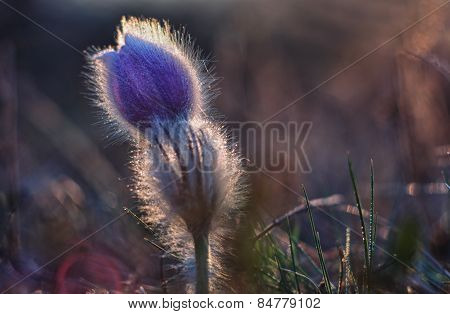 Spring flower  Pulsatilla grandis