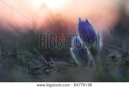 Spring flower  Pulsatilla grandis sunset