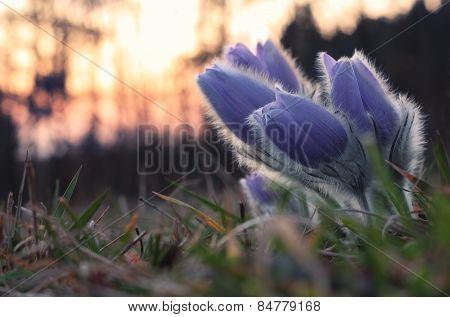 Spring flower after sunset    Pasqueflower- Pulsatilla grandis