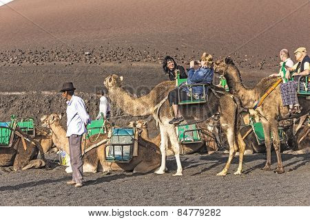 Local Camel Riding Man Prepares The Camels For A Ride With Tourists