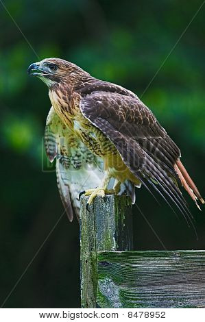 Red-tailed Hawk ready to fly
