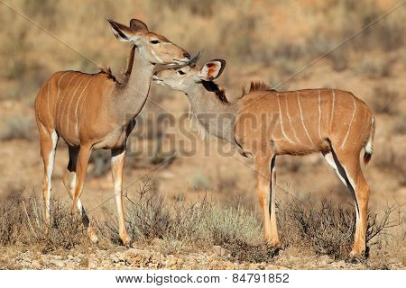 Two kudu antelopes (Tragelaphus strepsiceros) in natural habitat Kalahari desert, South Africa