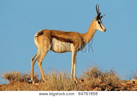A female springbok antelope (Antidorcas marsupialis) against a blue sky, Kalahari desert, South Africa