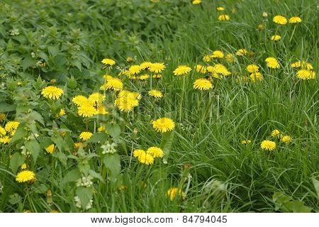 Blooming Dandelions Plants