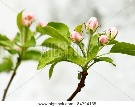 Pink And White Apple Tree Buds