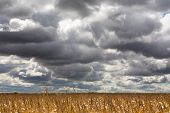 pic of zea  - Dramatic clouds gathering for a storm over a ripe corn field ready for harvest in midwest USA  - JPG
