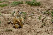 foto of grassland  - A Lookout Prairie Dog  - JPG