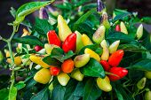 foto of pepper  - Colorful Ornamental Pepper - JPG