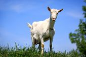 picture of grassland  - Funny rural goat on grassland - JPG