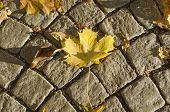 Постер, плакат: Maple leaf on cobblestone