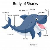 picture of anal  - Illustrator body of sharks cartoon and education - JPG
