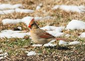 picture of cardinal  - Female Northern Cardinal looking for seeds on the ground in winter - JPG