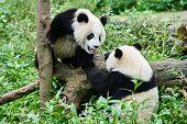 stock photo of panda bear  - two Panda bears cubs playing Sichuan China forest - JPG