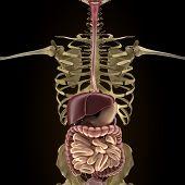 image of rectum  - Anatomy of human organs in x - JPG