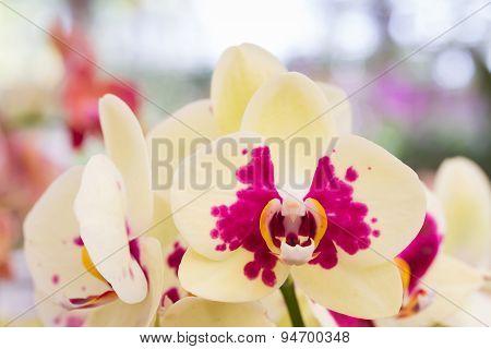Yellow Orchid, Phalaenopsis