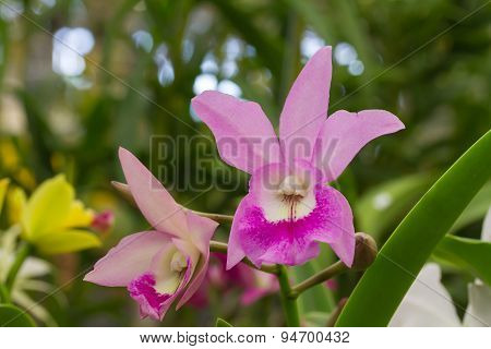 Purple Cattleya Hybrid Orchid Flower