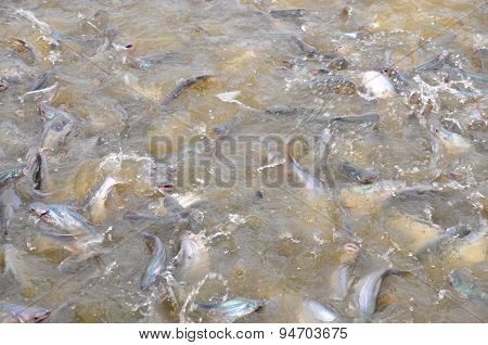An Giang, Vietnam - August 25, 2011: Pangasius Fish Or Vietnamese Catfish Are Scrambling To Eat In A