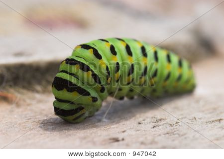 Monarch Butterfly Larvae Caterpillar