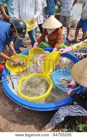 Bac Lieu, Vietnam - November 22, 2012: Vietnamese Farmers Are Grading Shrimps After Harvesting From
