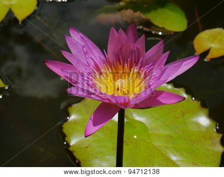 The Pink lotus so cute in water on the nature