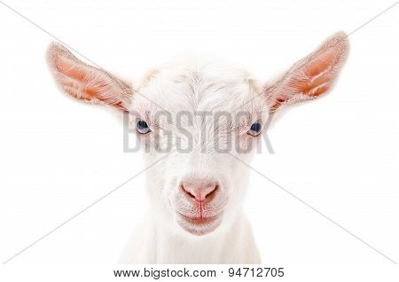 Portrait of a white little goat closeup