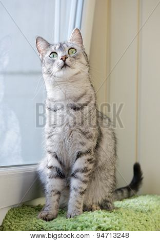 Sitting cat and looking ,watching cat close up, little cat, vignette photo, domestic cat