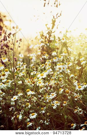 Daisy Meadow In Sunset