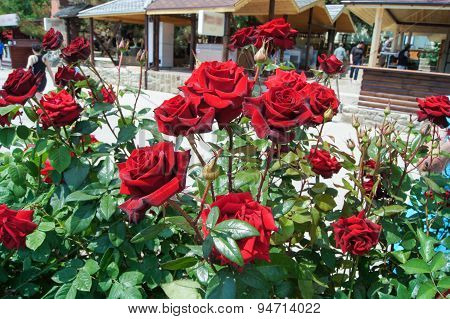 Bush Purple Roses