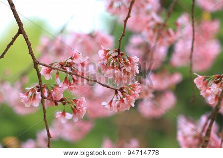 Pink cherry flowers blossom on branch against