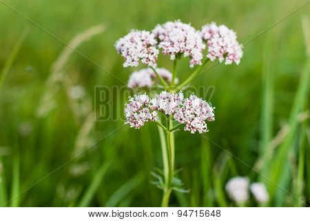 Soft Pink Blooming Valerian  Plant