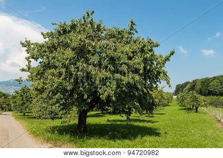 Green In Apple Tree In Summer Season