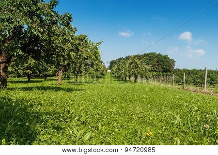 Green Cherrie Trees In Summer Season