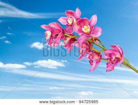 Beautiful Purple Cymbidium Flower Orchid With Clear Blue Sky
