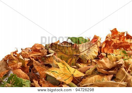 Autumn Dry Maple Leafs On White Background