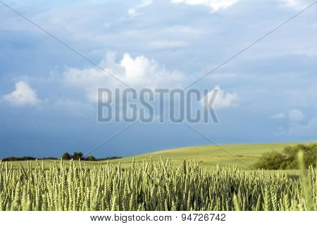 Wheat Field And Rural Landscape Against The Cloudy Blue Sky