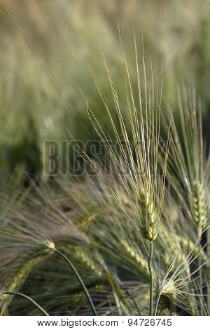 Ears Of Barley With Long Awns In A Field, Close Up Shot
