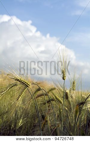 Ears Of Barley In A Sunny Field Against The Cloudy Blue Sky