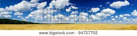 Field Full Of  Golden Wheat By Summertime.