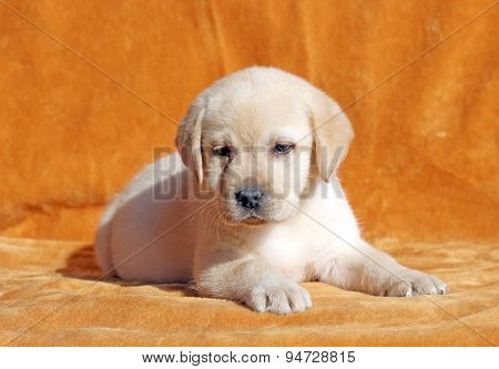 A Nice Yellow Labrador Puppy On Orange Background