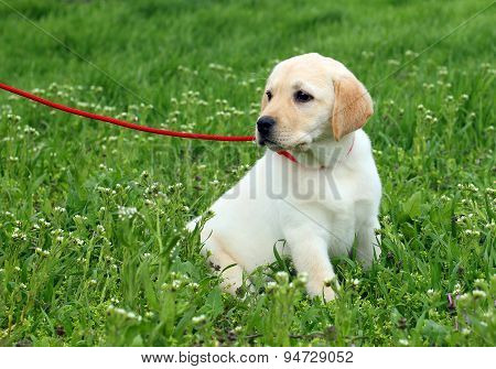 Nice Yellow Labrador Puppy In Green Grass