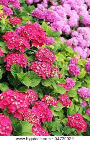 Floral Background: Blooming Hydrangea