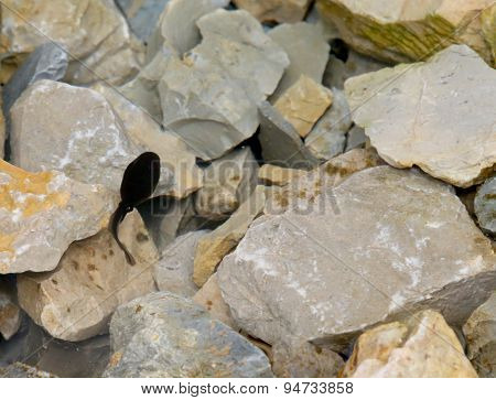 Black Tadpole In The Pond With Rocks In The Mountains